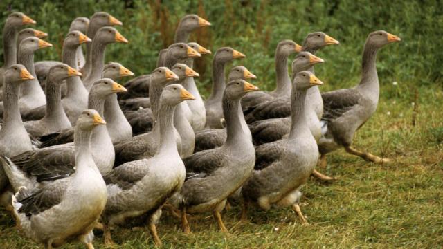 Les Oies du Périgord