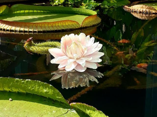 Fleur De Victoria Longwood