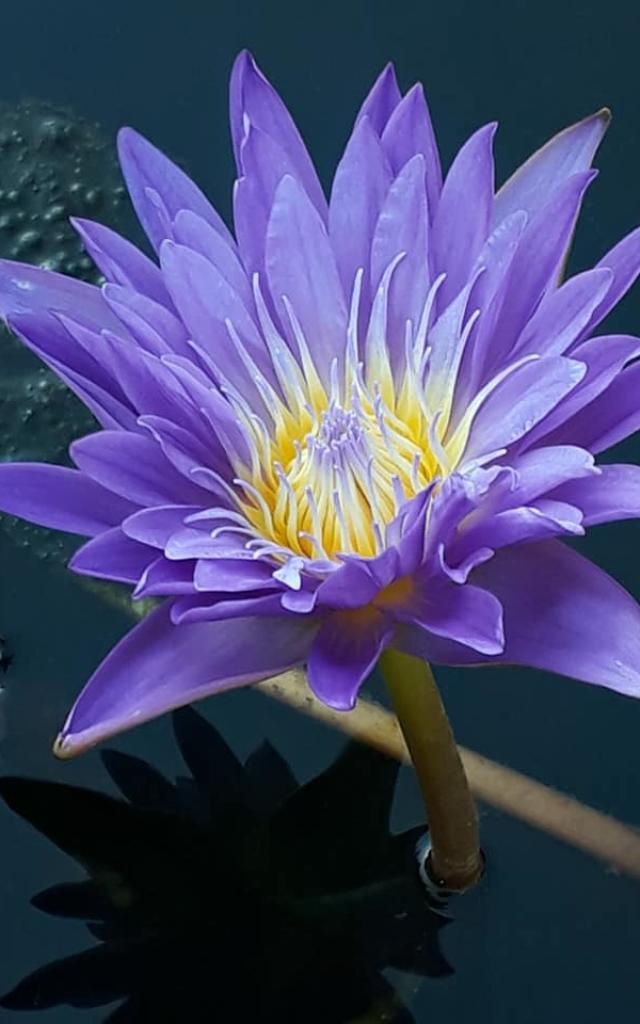Jardins Deau Nymphea Violet