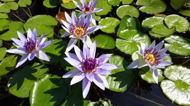 Nymphea des Jardins d'eau
