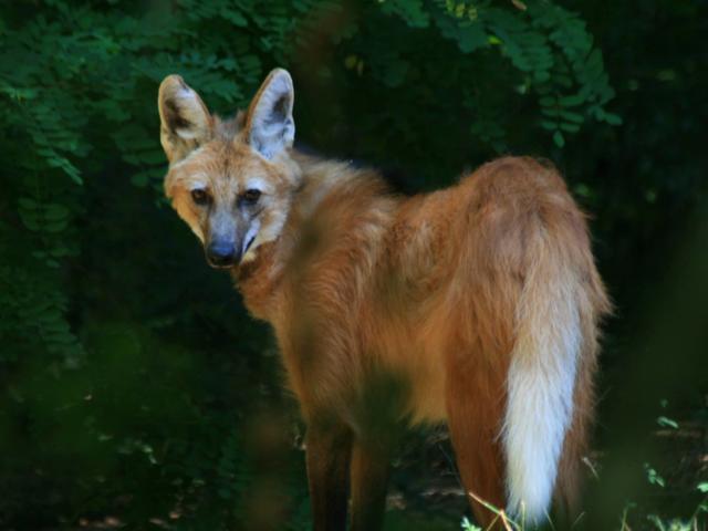 Lulu, le Loup à Crinière